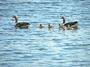 duck-family-2395795_640.jpg